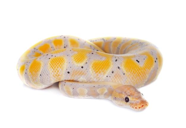 Python piłkę na białym tle