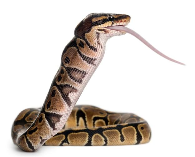 Python royal python, python kulkowy - python regius zjada mysz