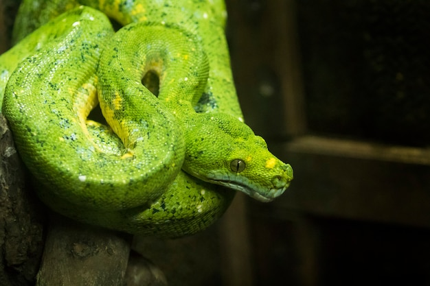 Python z zielonym drzewem