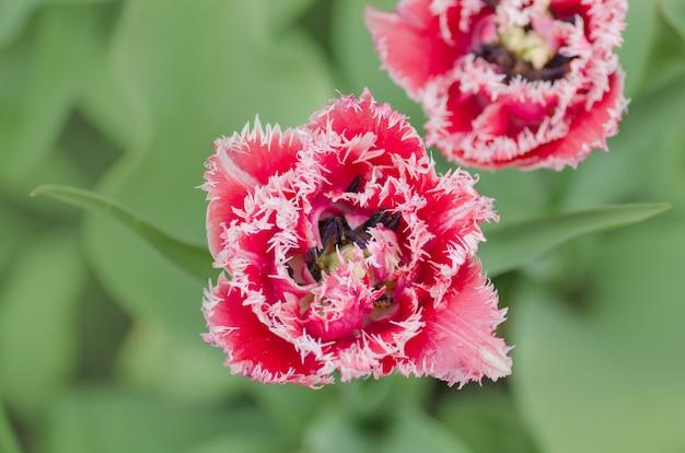 Queensland terry frędzlami tulipan w ogrodzie.