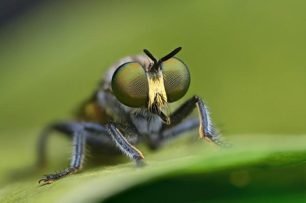 Rabuś latać na zielony liść w przyrodzie
