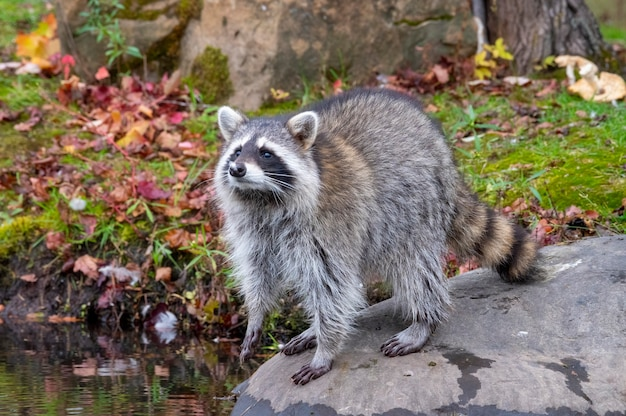Raccoon at shoreline looking over the water