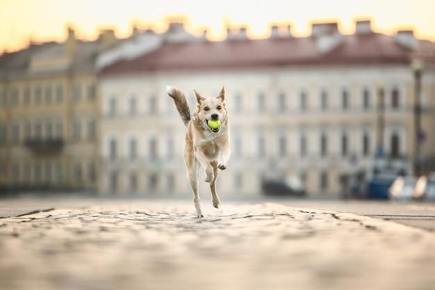 Radosny dorosły owczarek z zabawką w ustach biegnący wzdłuż ulicy podczas zachodu słońca