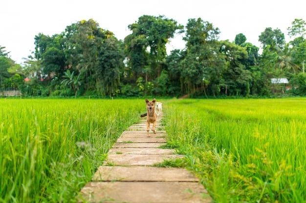 Radosny pies chodzi na zielonym ryżu polu