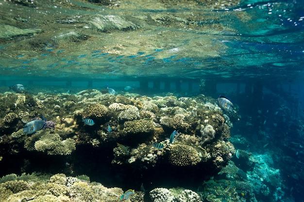 Rafa koralowa przy morzem czerwonym, egipt. podwodny krajobraz z rybami i rafami.