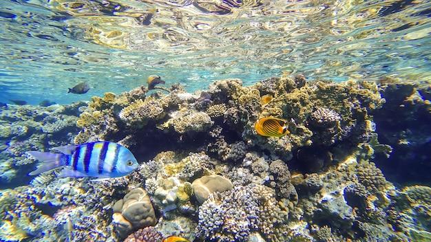 Rafy koralowe położone przy powierzchni morza czerwonego, w pobliżu których pływają tropikalne ryby
