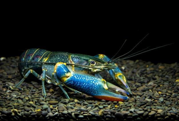 Rainbow redclaw crayfish yabby w akwarium.