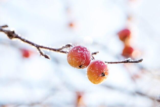 Rajska gałąź jabłoni z małymi suchymi owocami