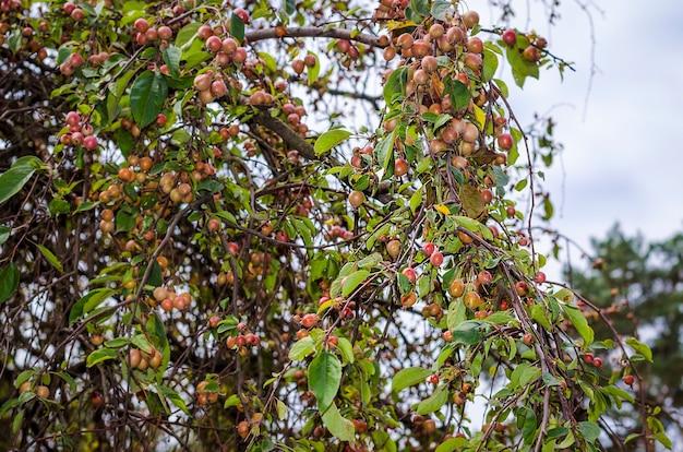 Rajskie jabłka na drzewie w duży jesienny dzień