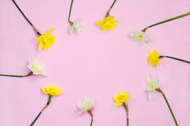 Rama narcyz lub żonkil kwitnie na różowym tle