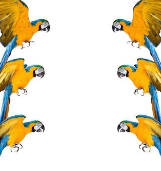 Rama papug ara na białym tle na białym tle
