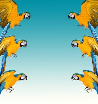 Rama papug ara na białym tle