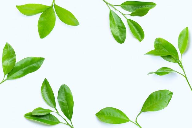 Rama wykonana z liści cytrusowych na białym tle.