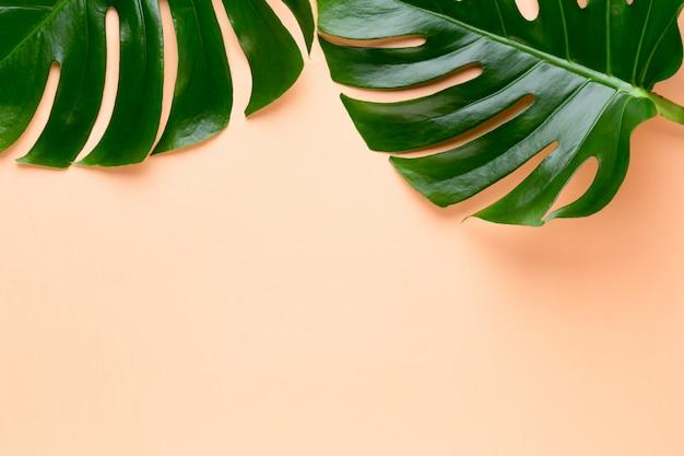 Ramka liści tropikalnej dżungli, monstera, spoczywa na pomarańczy