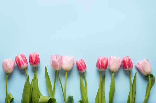 Ramka wiosna różowe tulipany na niebieskim tle.