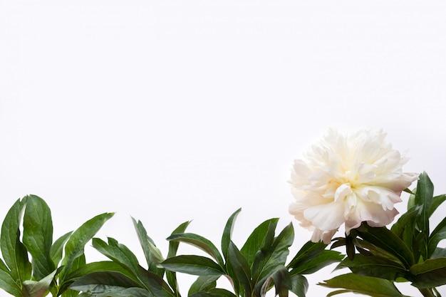 Ramki wykonane z białych piwonii kwiat i zielonych liści na białym tle. leżał płasko, widok z góry. rama kwiatów.