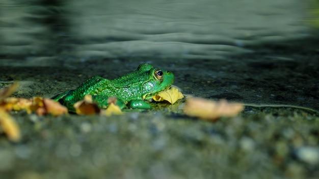 Rana esculenta - wspólne europejskie zielone żaby w stawie