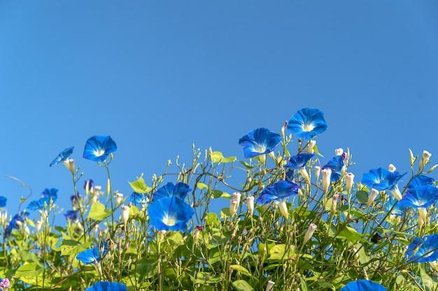 Ranek chwały kwiatu agenta niebieskie niebo