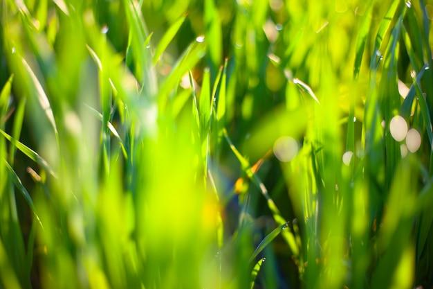Ranek zielona trawa w słońcu z rosa kroplami i pięknym bokeh tłem.