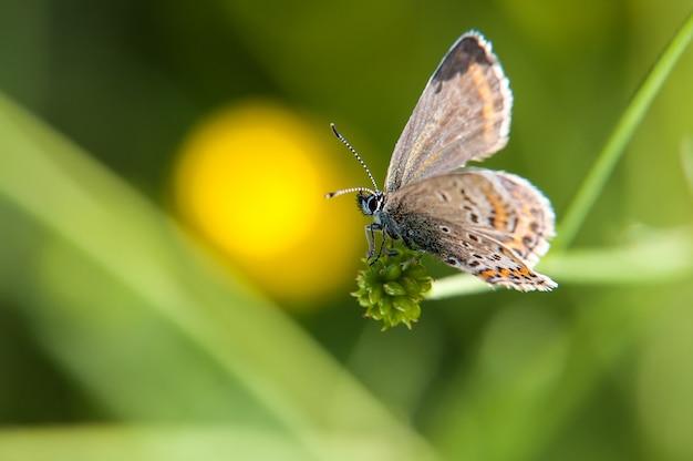 Ranku motyl na zielonej łące. smokey blue motyl euchrysops malathana siedzi na źdźbło trawy.