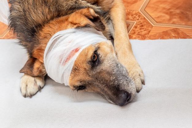 Ranny pies z zabandażowaną głową i smutnym spojrzeniem leżący na podłodze