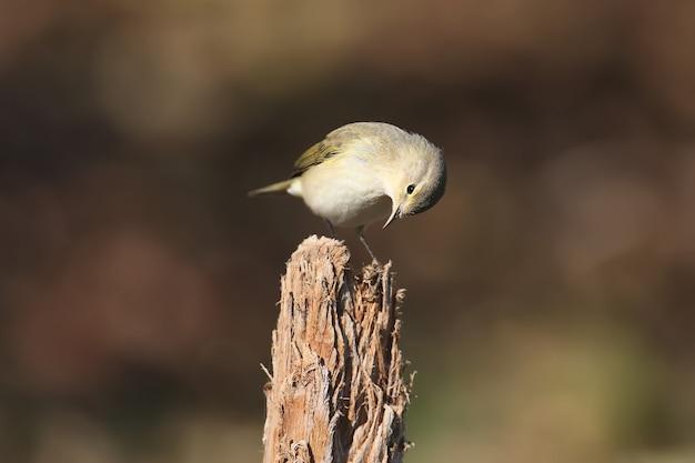 Rano chiffchaff pospolita (phylloscopus collybita) zbliżenie na gałęzie krzewów w naturalnym środowisku w miękkim świetle poranka. ptak w upierzeniu zimowym