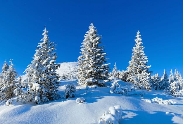 Rano zimowy krajobraz górski z śnieżnymi jodłami na zboczu karpat