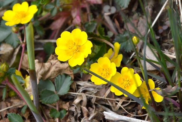 Ranunculus repens kwiaty lub jaskier pełzający rosnący w lesie
