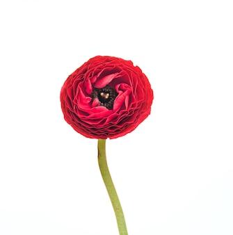 Ranunkulyus czerwony kwiat na bielu