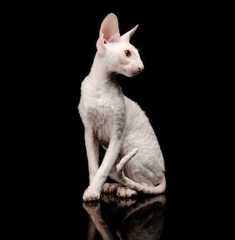 Rasowy biały kot cornish rex na czarno
