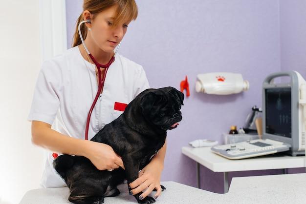 Rasowy czarny pies rasy jamnik jest badany i leczony w klinice weterynaryjnej. medycyna weterynaryjna.