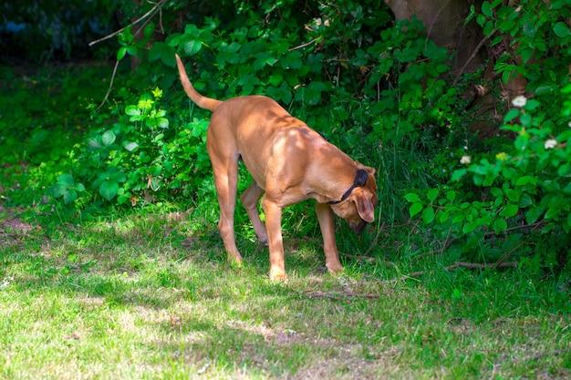Rasowy duży brązowy południowoafrykański masywny pies gatunku boerboel.
