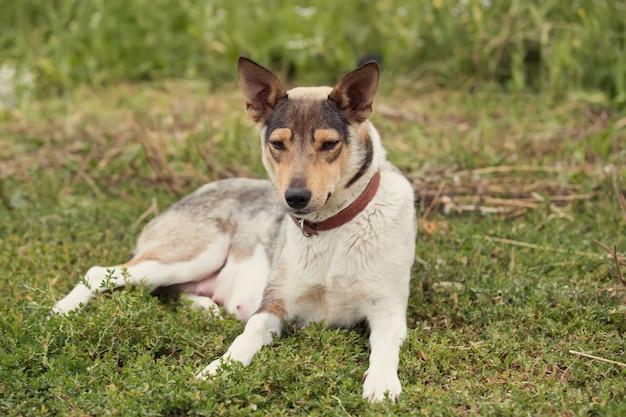 Rasowy fotel dla psa na trawie