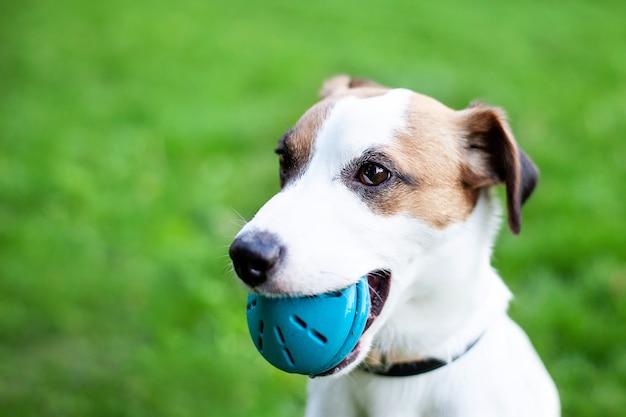 Rasowy jack russell terrier pies outdoors na naturze w trawie. pies trzyma piłkę w ustach. portret psa w parku gry z zabawką.