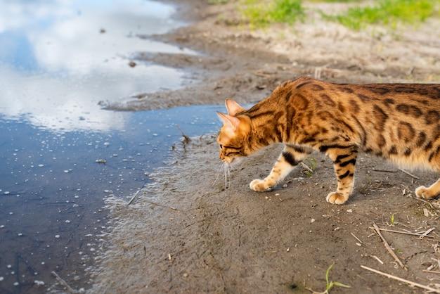 Rasowy kot bengalski spaceruje w przyrodzie w letni dzień