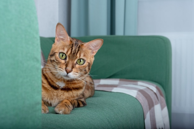 Rasowy kot leży na kanapie i z zainteresowaniem patrzy w kamerę