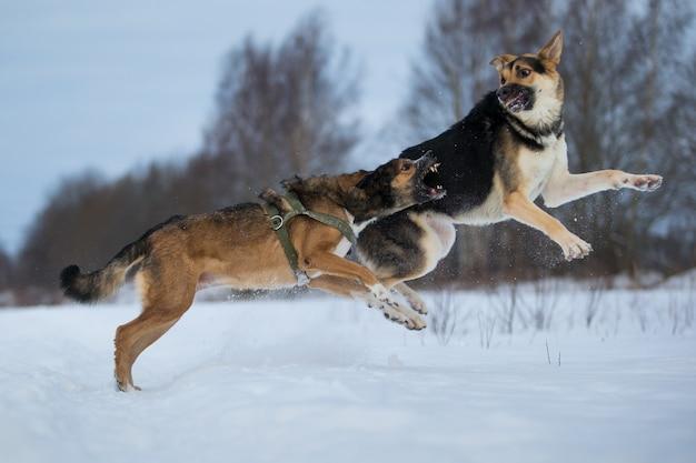 Rasowy owczarek niemiecki i pies rasy mieszanej skacze biega i bawi się zimą na śniegu
