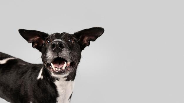 Rasowy pies jest słodki w studio