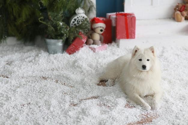 Rasowy pies samoyed leży na podłodze ze sztucznym śniegiem