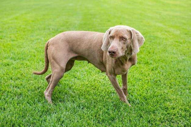 Rasowy pies wyżeł weimarski na zewnątrz, na zielonym trawniku parku.