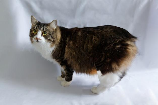 Rasowy puszysty kot syberyjski bez ogona, kuril bobtail