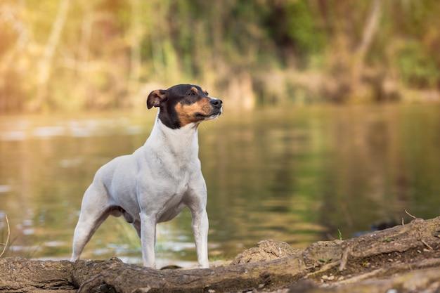 Ratonero bodeguero andaluz rasowy pies pozuje obok rzeki z kopii przestrzenią.