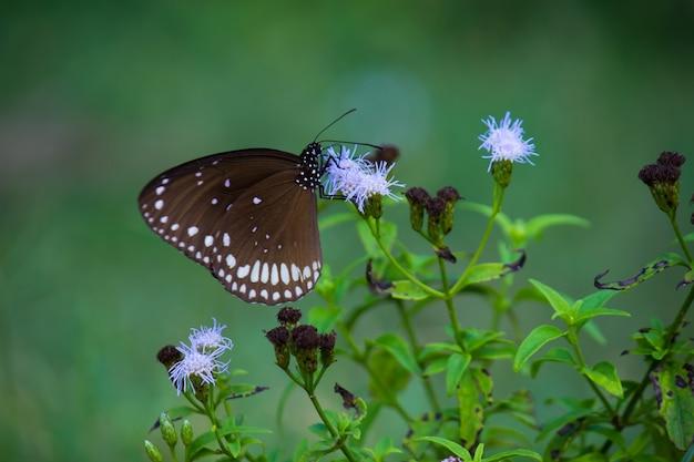 Rdzeń euploea wrona zwyczajna to pospolity motyl
