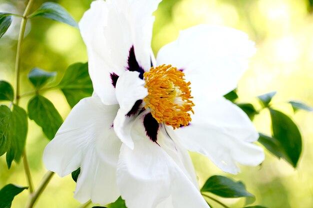 Rdzeń otwartej, przypominającej drzewo piwonii. wiosenny świeży, pachnący kwiat. delikatny kwiat piękny ślubny kwiat.