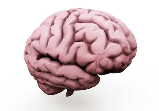 Realistyczna ilustracja 3d ludzkiego mózgu z przodu na białym tle