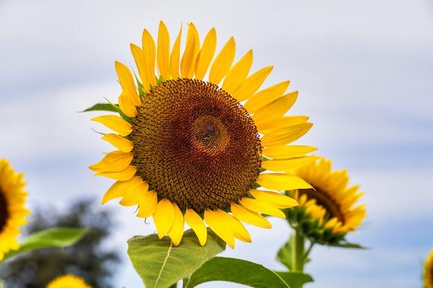 Realistyczny piękny żółty krajobraz słonecznika w polu ogrodowym gospodarstwa z błękitnym niebem w pochmurny dzień, strzał z bliska, styl życia na świeżym powietrzu.