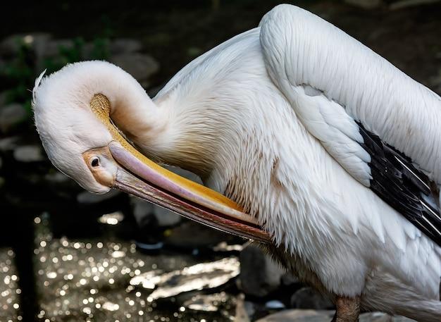 Reat white pelikan, pelecanus onocrotalus znany również jako wschodni biały pelikan, różowy pelikan lub biały pelikan to ptak z rodziny pelikanów