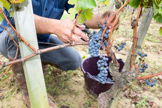 Ręce człowieka z nożyczkami cięcia winogron zbioru pęczków czasu