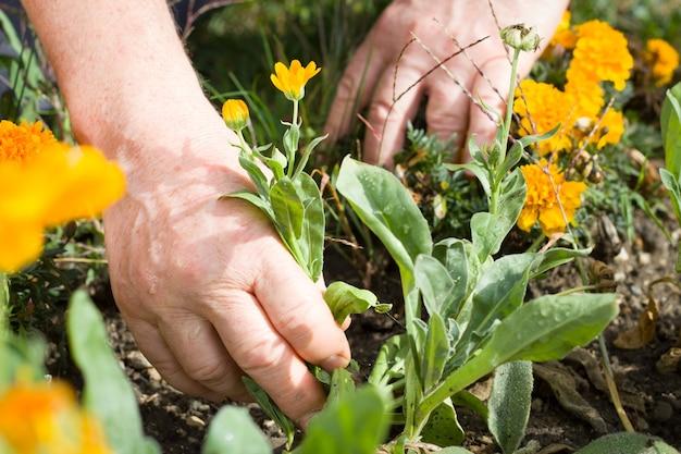 Ręce czynnego starszego mężczyzny wykonującego prace ogrodowe w pięknym okresie wiosenno-letnim; ciężka praca