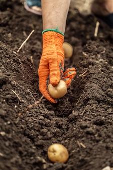 Ręce do zbioru świeżych ekologicznych ziemniaków z gleby